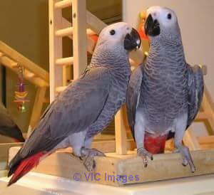 AFRICAN GREYS PARROTS FODOPTION